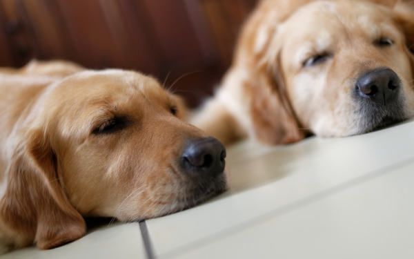 Two dogs lying down with their chins on the ground