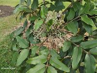 Light grey flower cluster - Ho'omaluhia Botanical Garden, Kaneohe, HI