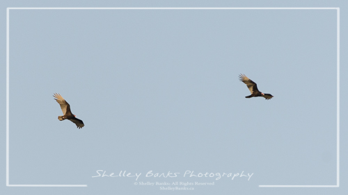 Turkey Vultures. Copyright © Shelley Banks, all rights reserved