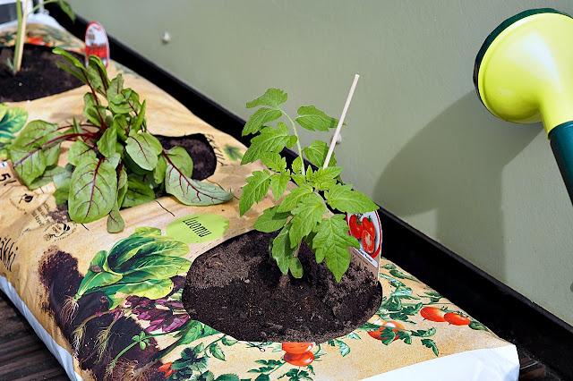 Viinisuolaheinä ja tomaatin taimi