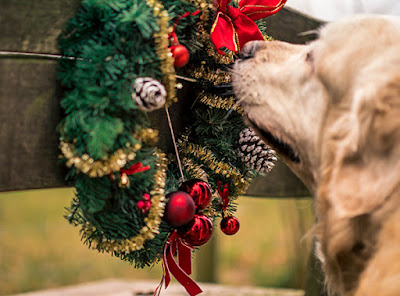 A dog is sniffing a Christmas wreath