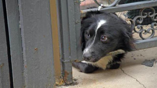 Преданный пес Билли, ждущий хозяина из больницы, растрогал Сеть