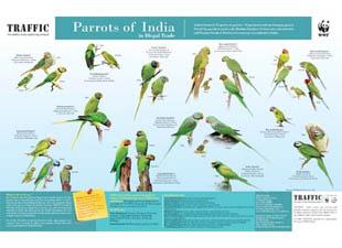 Indian Ring Neck Parrot Alexandrian Parakeet Popat