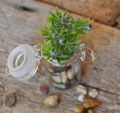 terarium kecil ini sangat cantik apalagi botol dilengkapi dengan tutup kaca yang ditahan oleh beberapa potong kawat. beberapa butir batu koral menghias di sekitar botol kaca, sesuai dengan bentuk tanaman yang dipelihara di dalam botol kaca bekas
