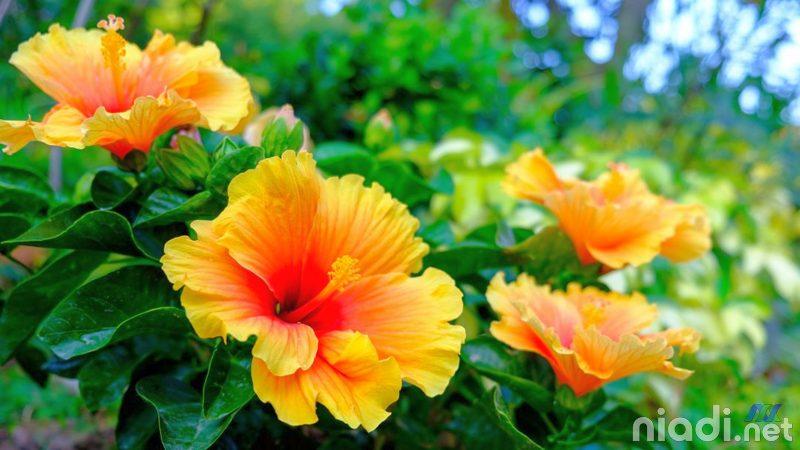 manfaat bunga kembang sepatu dan penjelasannya