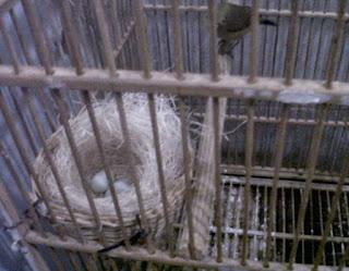 telur pleci