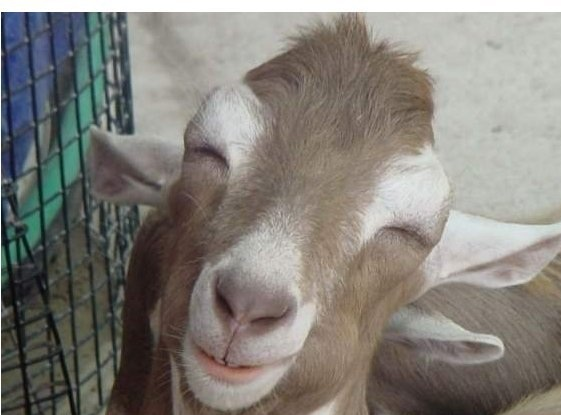 Animals Bakra Cows For Eid Qurbani In Pakistan Photos