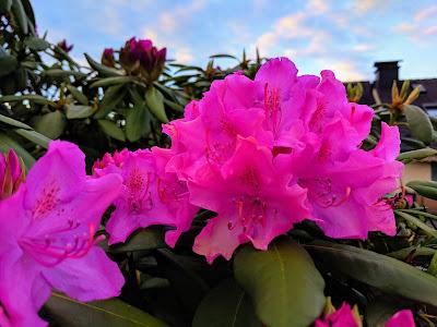 Kräftige helle Rhododendron