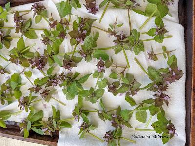 Purple deadnettle drying on paper towel