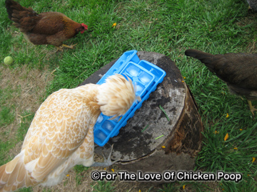 About Heat Stress and Keeping Your Flock Cooled Down! | Community