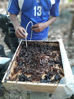 Memanen madu lebah kelulut