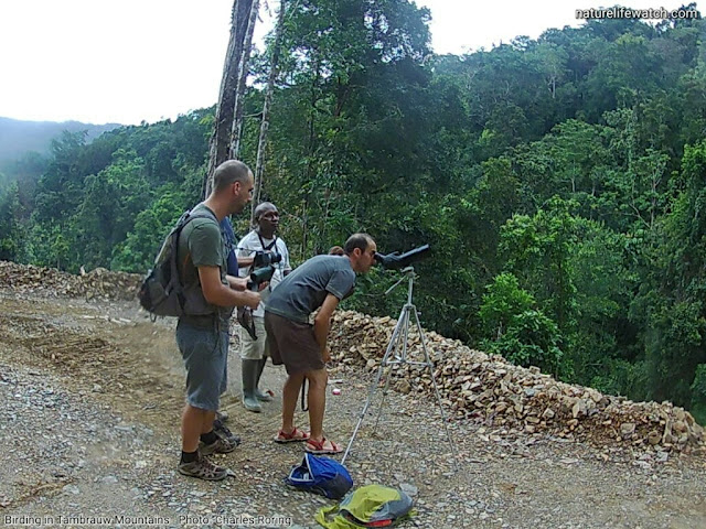 Birding in tropical rainforest of West Papua