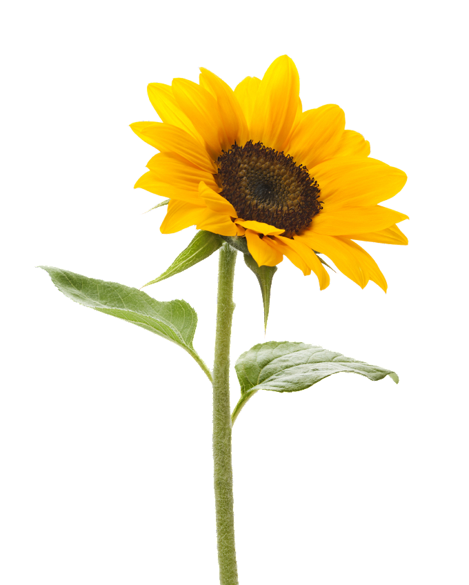 Common sunflower graphy Color, Sunflower Background, purple, sunflower, plant Stem png free png