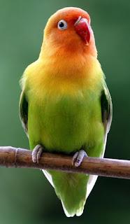 Menyembuhkan Burung Yang Sudah Terlanjur Kegemukan