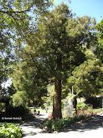 Japanese cedar - Wellington Botanic Garden, New Zealand