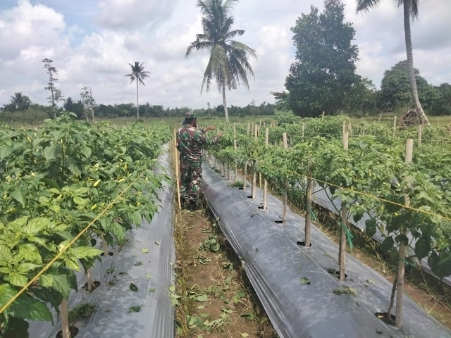 Bulan Puasa, Babinsa Koramil 03/Haruyan Bantu Petani Rawat Tanaman Lombok
