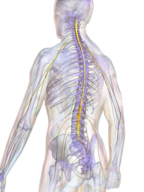colonne-vertébrale
