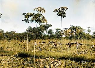 panen jagung di perkebunan karet hevea