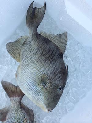Perawatan Dalam Budidaya Ikan Nila Kolam Terpal untuk Usaha