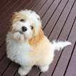 Cute Shih Tzu Puppies Pictures and Photos