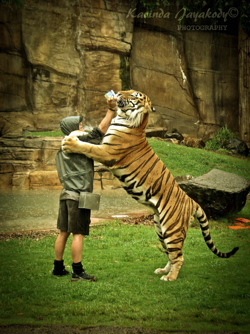Bengal Tiger – World's Largest Cat | JJ Photography  |Biggest White Tiger In The World