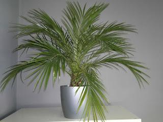phoenis%2Broebelinii - Tumbuhan yang wajib ada didalam setiap rumah!