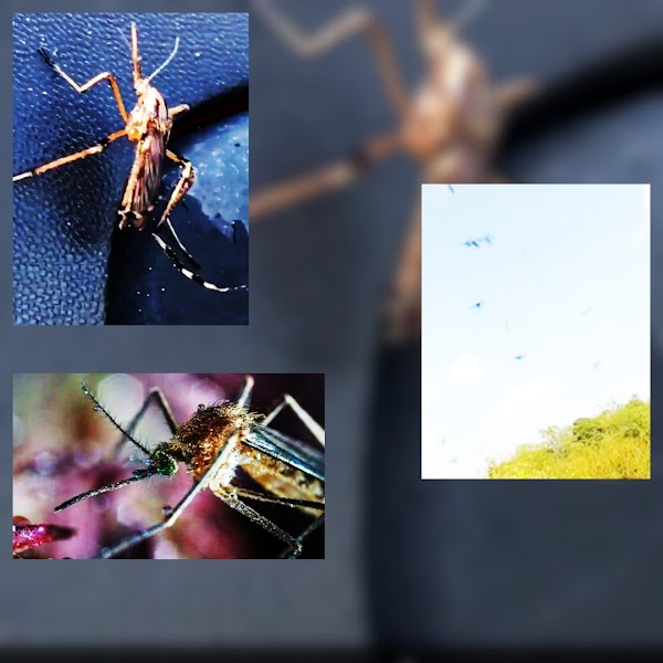( VIDEOS ) Plaga De Mosquitos Invaden Carolina Del norte.