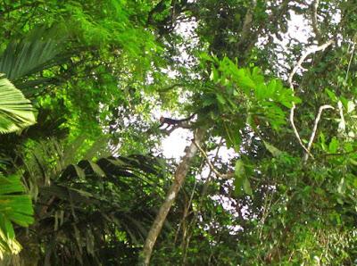 Mono Capuchino en Tortuguero