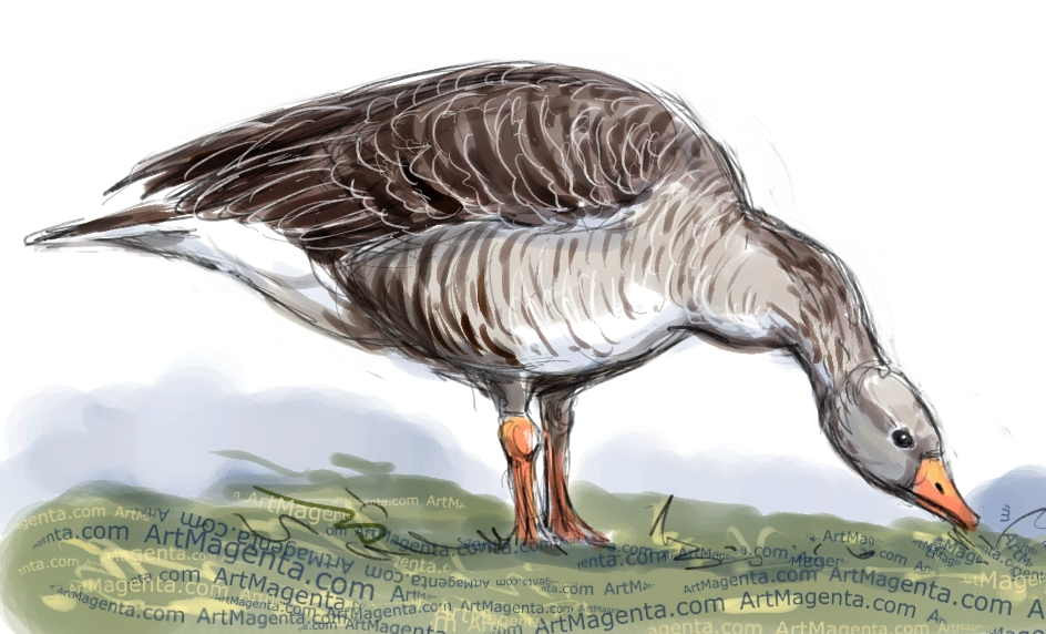 Greylag Goose sketch painting. Bird art drawing by illustrator Artmagenta