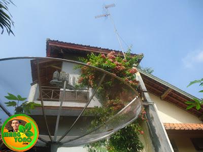 FOTO : Tanaman Melati Belanda (Chinese Honeysuckle) dirambatkan di torn air rumah amang.