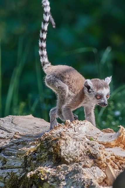 Best 10 Reasons to Explore Madagascar, Madagascar Fauna, lemurs,