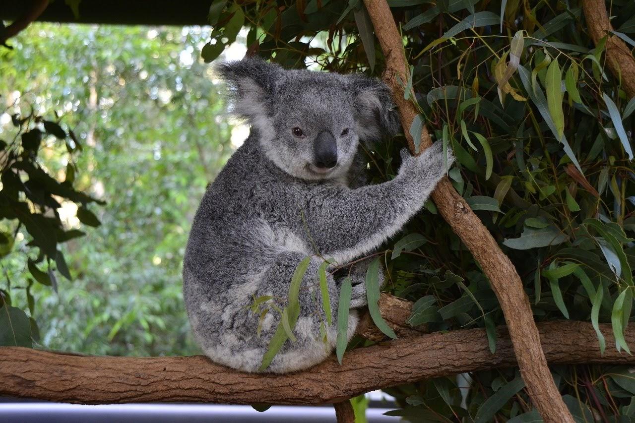 オーストラリアに来た学生に人気の動物園のコアラの写真