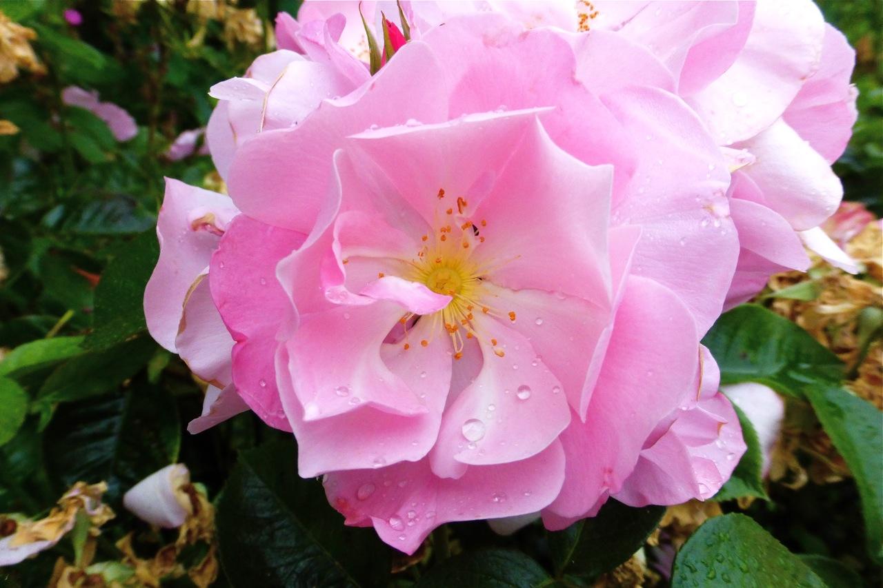 Owen Rose Garden, rose garden, pink rose, rose