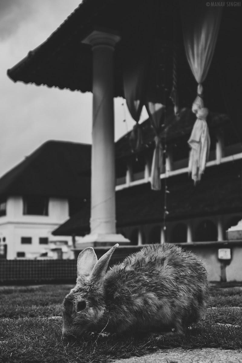 Rabbit in the gardens of  Le Pondy Beach Resort, Pondicherry- 30-Oct-2019
