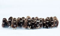 Wildlife Photographer of the Year bisonti