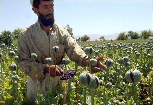 Afghanistan opium fields