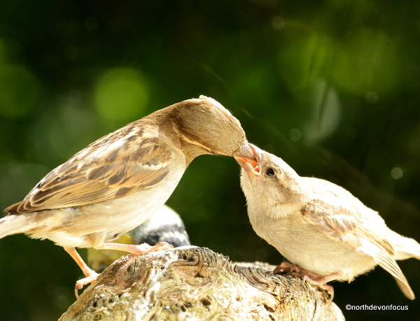 Sparrow Fledgling - Photo copyright Pat Adams North Devon Focus