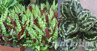 Calathea, variety of the decorative leaves
