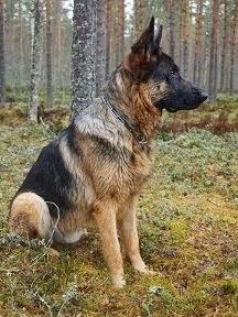 Koiran Takapää Pettää