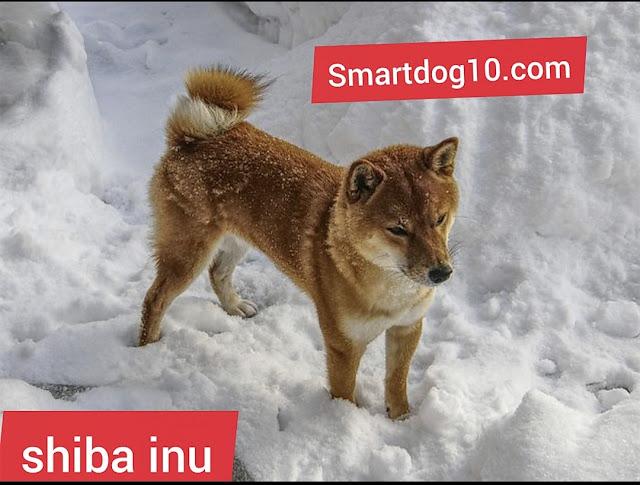history shiba breed