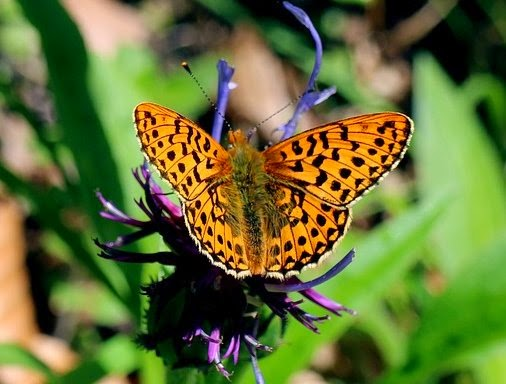 How to Make a Butterfly--Friendly Garden