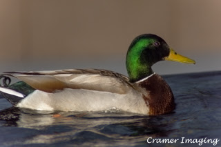 Cramer Imaging's professional nature photograph of an animal, or duck, or bird swimming in a fountain in Logan, Utah