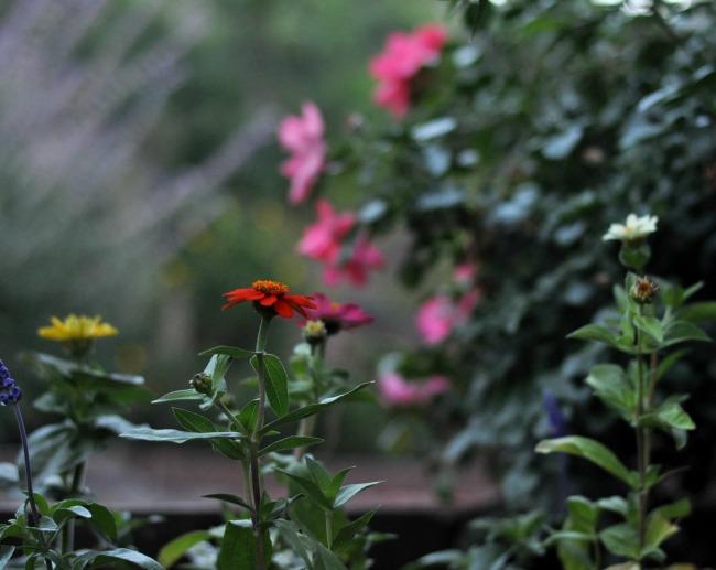 annual zinnias in the cottage garden