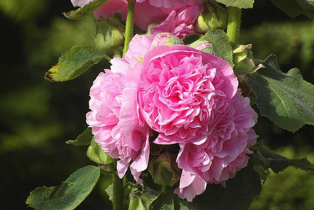 light pink mallow flower