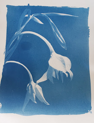 A cyanotype image of lilies and a blurb about extreme science observing.