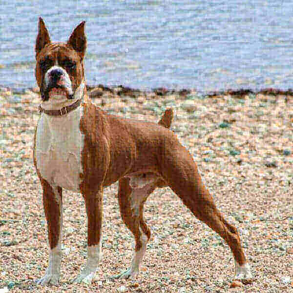 boxer dogs for sale for adoptio 101 images boxing rescue price life span with tails