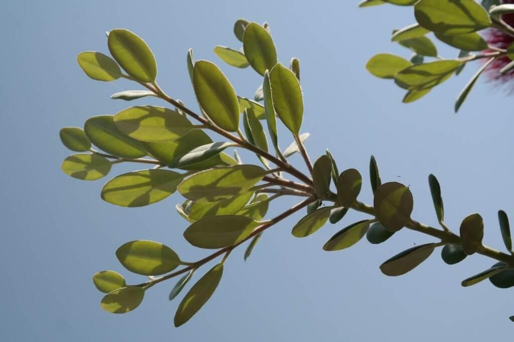 Ironwood or hop-hornbeam tree