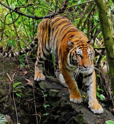Penangkaran Harimau