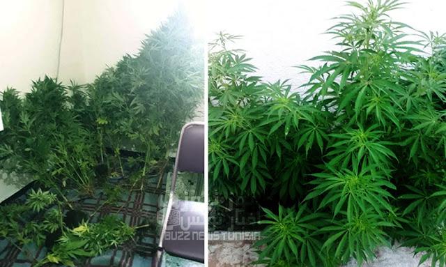 kelibia arrestation d un agriculteur de marijuana