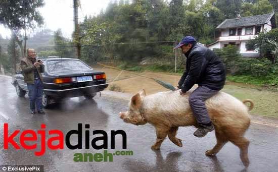 Pria Tua Menunggangi Babi Seperti Kuda, Aneh Tapi Nyata